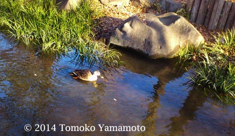 A duck glides along the stream of the Kandagawa in the Kichijoji neighborhood near the Inogashira Park.
