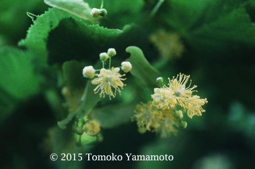Sommer-Linde Blüten