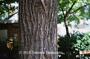 A close-up of the trunk of Sommer-Linde to show how the bark looks like.